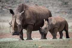 Белые носорог и икра Стоковые Фотографии RF