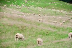 Белые овцы на зеленой траве в солнечном дне, Новой Зеландии Стоковое Изображение RF