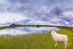 Белые овцы пася в луге Стоковые Изображения RF
