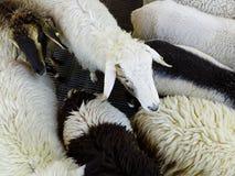 Белые овцы среди своих друзей стоковое изображение rf