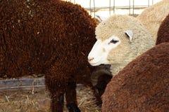 Белые овцы Стоковая Фотография RF