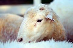 Белые овцы Стоковое Фото