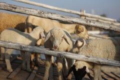 Белые овцы Стоковые Фотографии RF