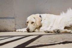 Белые лож собаки Стоковое Изображение RF