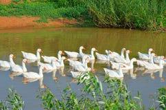 Белые домашние гусыни плавая вниз с реки Стоковые Изображения