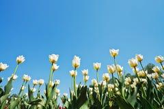 Белые орнаментальные тюльпаны на поле цветка Стоковое Изображение
