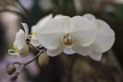Белые орхидеи в выставке орхидеи Торонто Стоковые Фото