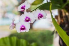 Белые орхидеи в саде, красивом белых цветков Стоковые Изображения RF