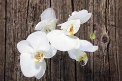 Белые орхидеи фаленопсиса Стоковая Фотография