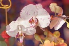 Белые орхидеи Стоковое Изображение