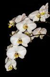 Белые орхидеи Стоковые Фотографии RF