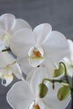 Белые орхидея и бетон 5 Стоковые Фото