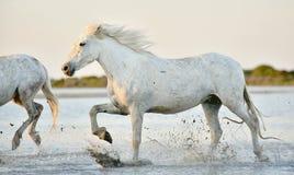 Белые лошади бежать через воду в свете захода солнца Стоковые Фотографии RF