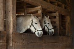 Белые лошади в конюшнях Стоковые Фотографии RF