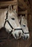Белые лошади в конюшнях Стоковое Фото