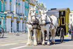Белые лошади с экипажом Стоковые Фото