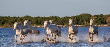 Белые лошади Camargue бегут в заповеднике болот camargue de parc регионарное Франция Провансаль стоковое фото rf