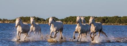 Белые лошади Camargue бегут в заповеднике болот camargue de parc регионарное Франция Провансаль стоковые изображения