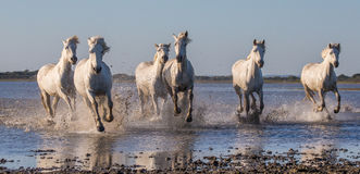 Белые лошади Camargue бегут в заповеднике болот camargue de parc регионарное Франция Провансаль стоковая фотография