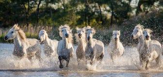 Белые лошади Camargue бегут в заповеднике болот camargue de parc регионарное Франция Провансаль стоковые фотографии rf