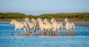 Белые лошади Camargue бежать на воде Стоковое фото RF