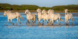 Белые лошади Camargue бежать на воде Стоковое Изображение RF