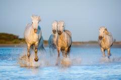 Белые лошади Camargue бежать на воде Стоковая Фотография RF