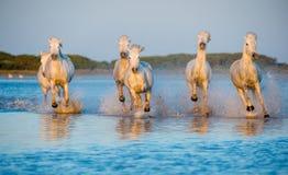 Белые лошади Camargue бежать на воде Стоковые Изображения