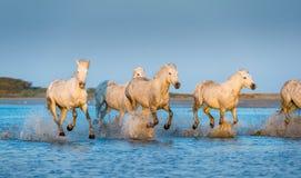 Белые лошади Camargue бежать на воде Стоковые Фотографии RF