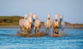 Белые лошади Camargue бежать на воде Стоковая Фотография