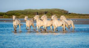 Белые лошади Camargue бежать на открытом море в заходе солнца освещают Стоковое Фото