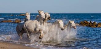 Белые лошади Camargue скакать вдоль моря приставают к берегу camargue de parc регионарное Франция Провансаль стоковая фотография