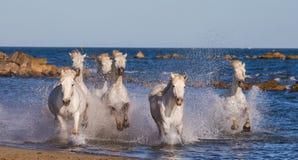 Белые лошади Camargue скакать вдоль моря приставают к берегу camargue de parc регионарное Франция Провансаль стоковое фото