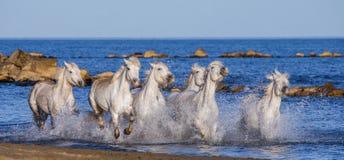 Белые лошади Camargue скакать вдоль моря приставают к берегу camargue de parc регионарное Франция Провансаль стоковое изображение