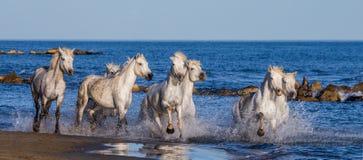 Белые лошади Camargue скакать вдоль моря приставают к берегу camargue de parc регионарное Франция Провансаль стоковые изображения rf