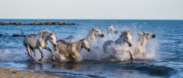 Белые лошади Camargue скакать вдоль моря приставают к берегу camargue de parc регионарное Франция Провансаль стоковое фото rf