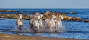 Белые лошади Camargue скакать вдоль моря приставают к берегу camargue de parc регионарное Франция Провансаль стоковая фотография rf
