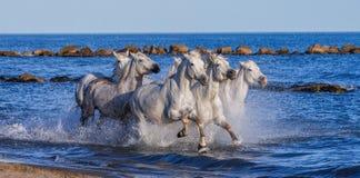 Белые лошади Camargue скакать вдоль моря приставают к берегу camargue de parc регионарное Франция Провансаль стоковые фотографии rf