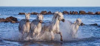 Белые лошади Camargue скакать вдоль моря приставают к берегу camargue de parc регионарное Франция Провансаль стоковые изображения