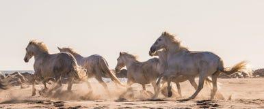 Белые лошади Camargue скакать на песке camargue de parc регионарное Франция Провансаль стоковая фотография rf