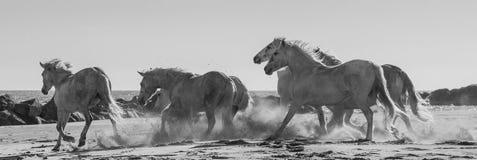 Белые лошади Camargue скакать на песке camargue de parc регионарное Франция Провансаль стоковые фото
