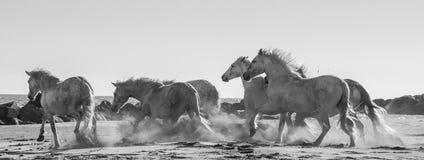 Белые лошади Camargue скакать на песке camargue de parc регионарное Франция Провансаль стоковые фотографии rf