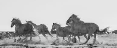 Белые лошади Camargue скакать на песке camargue de parc регионарное Франция Провансаль стоковое фото rf