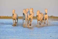 Белые лошади Camargue скакать через воду в свете захода солнца Стоковое Фото