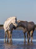 Белые лошади Camargue стоят в заповеднике болот camargue de parc регионарное Франция Провансаль стоковое изображение