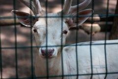 Белые олени на зоопарке Стоковые Фото