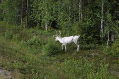 Белые олени около леса Стоковые Изображения RF