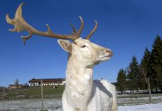 Белые олени Стоковая Фотография RF