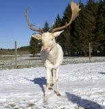Белые олени Стоковые Фотографии RF