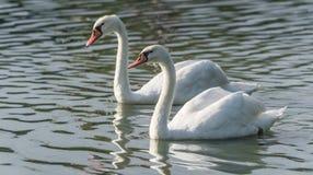 Белые пары безгласного лебедя & x28; Olor& x29 Cygnus; поплавайте вокруг их пруда на утре поздним летом в Онтарио, Канады Стоковая Фотография